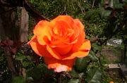 rosas de Waly