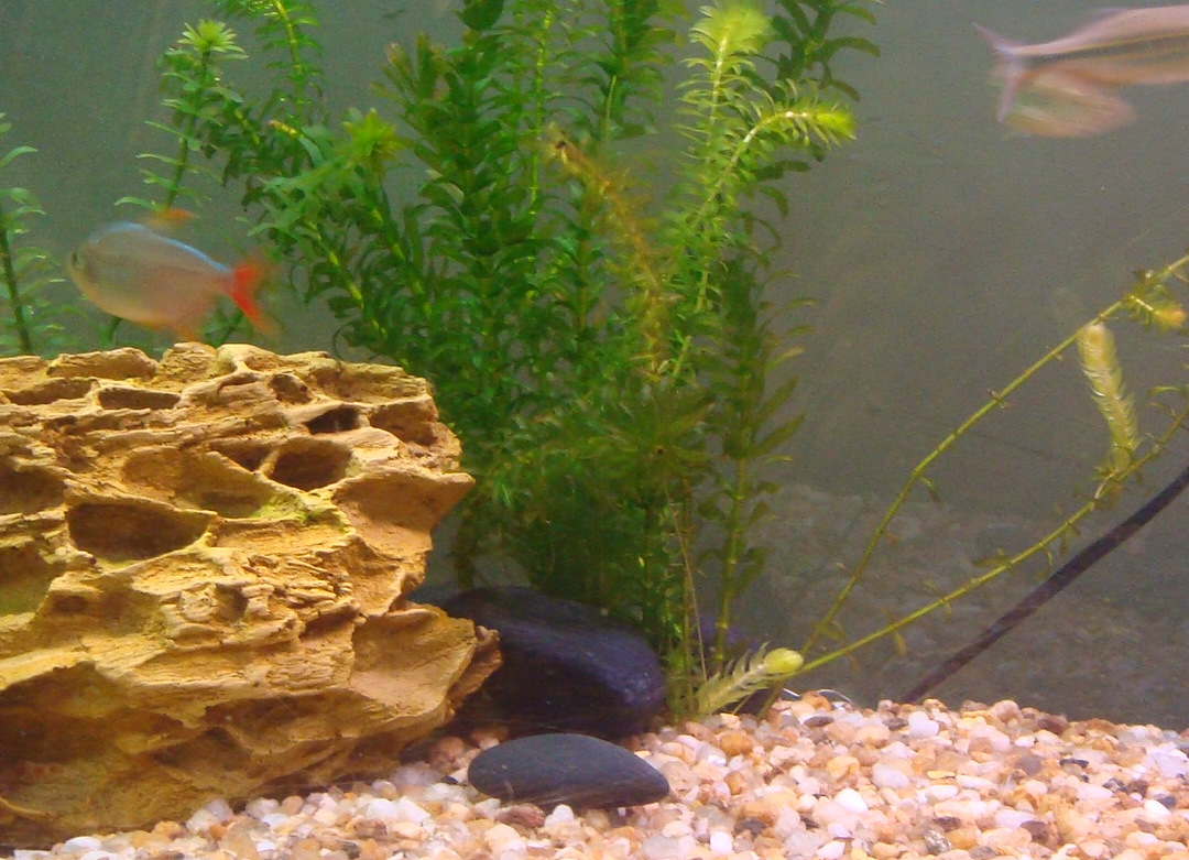 Tetras Killing Guppies Tetras And Guppies
