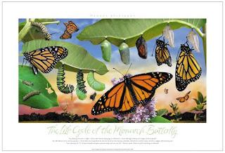 Monarch Life Cycle poster @ MilkweedCafe.com