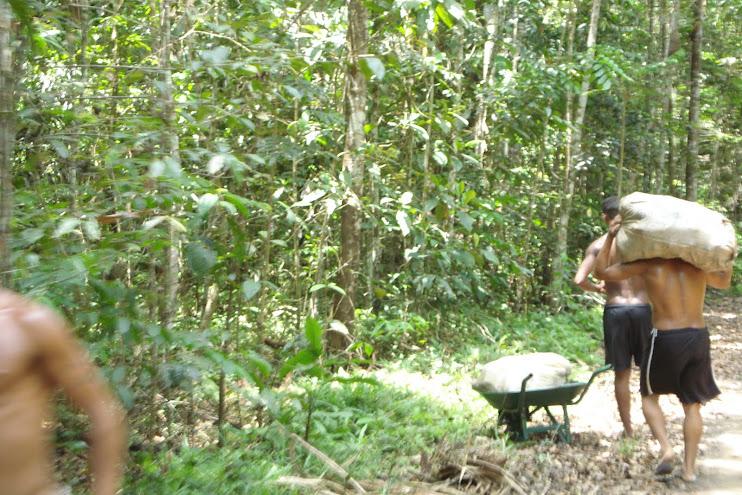 Extrativistas em ação: coletar, carregar e depois vender os frutos (castanha) da floresta na Feira.