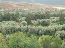 Les Oliviers Sont Très Important En Maroc: Pour Le Paysage, Agriculture, La  Cuisine, Les Jardin, La Médicine Et La Culture.