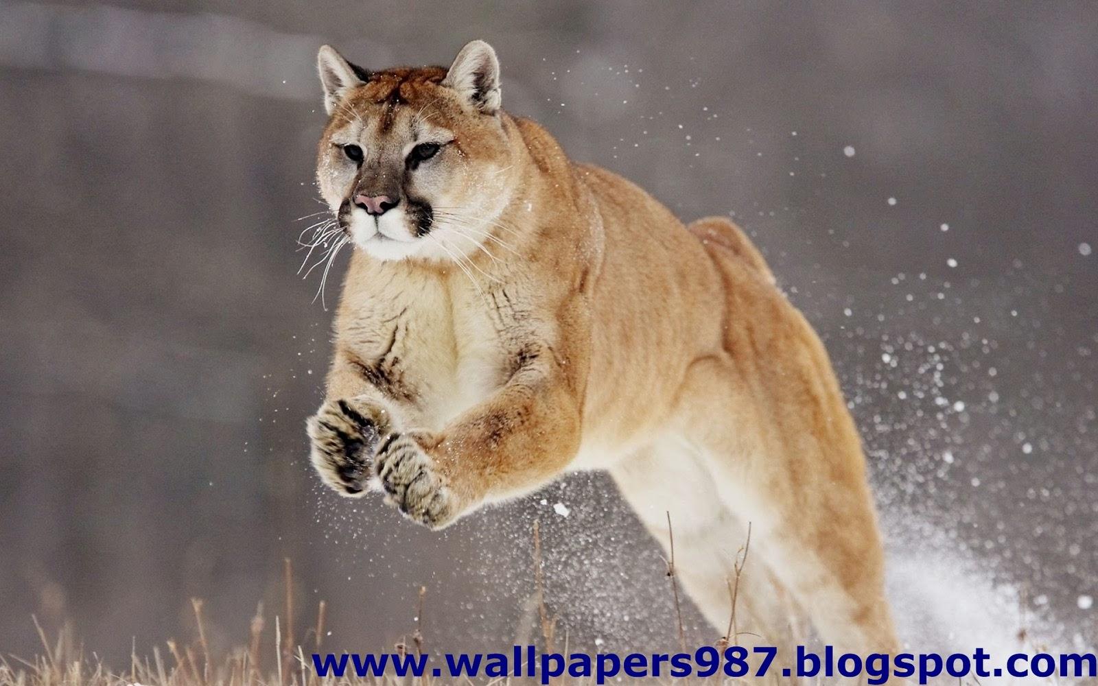 http://3.bp.blogspot.com/_SOSNZoTv8ng/TQYW7HMFQzI/AAAAAAAAAHc/cBW_1Z1tL3k/s1600/windows_masaustu_arka_plan_resimleri_vahsi_kediler_aslan_kaplan_HD_HQ_Full_Animal.+Pic+%2528145%2529.jpg