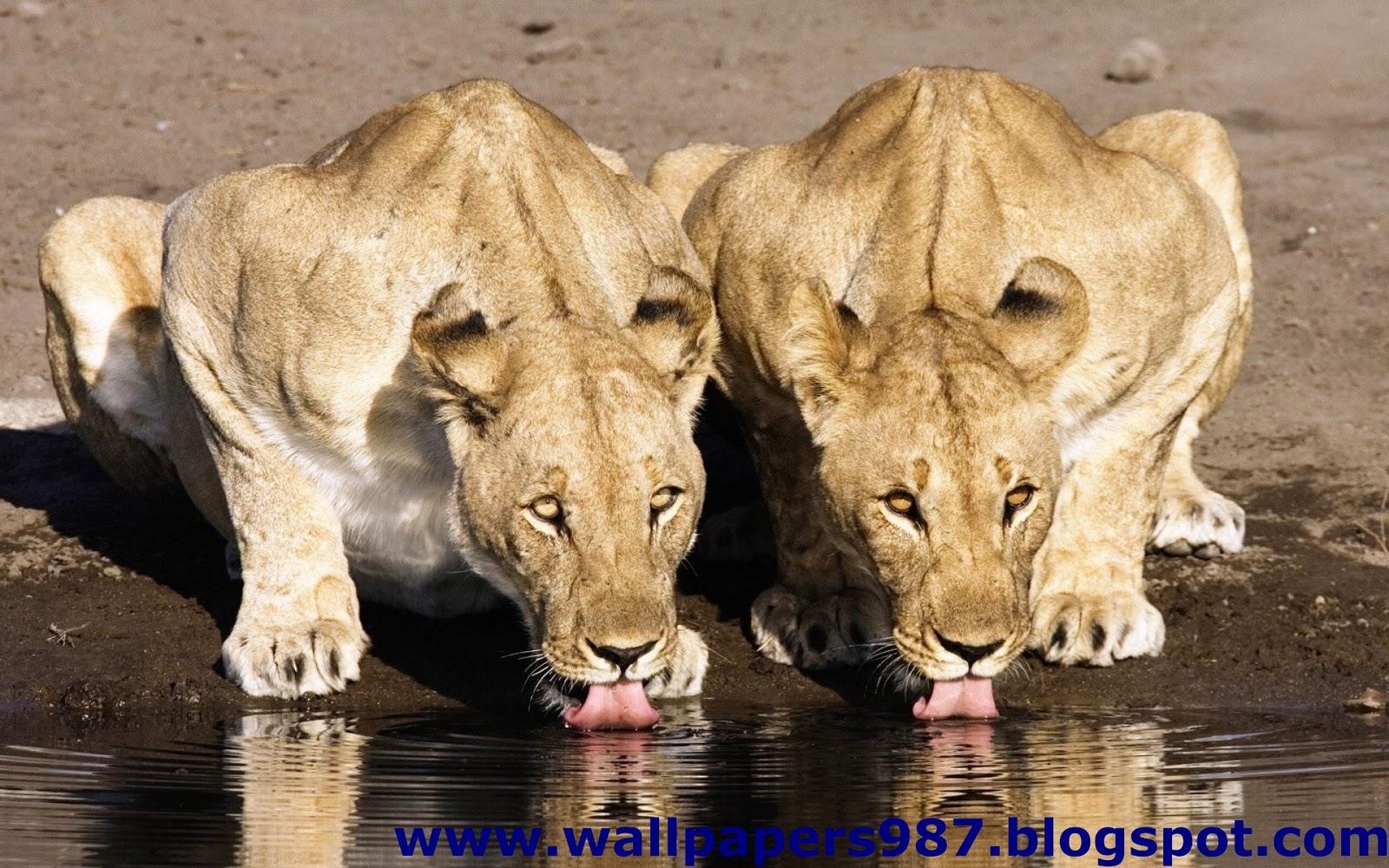 http://3.bp.blogspot.com/_SOSNZoTv8ng/TQYXlCnjv8I/AAAAAAAAAHk/2MO0fjp9KtA/s1600/windows_masaustu_arka_plan_resimleri_vahsi_kediler_aslan_kaplan_HD_HQ_Full_Animal.+Pic+%2528199%2529.jpg