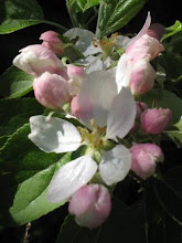Vackra äppelblommor...