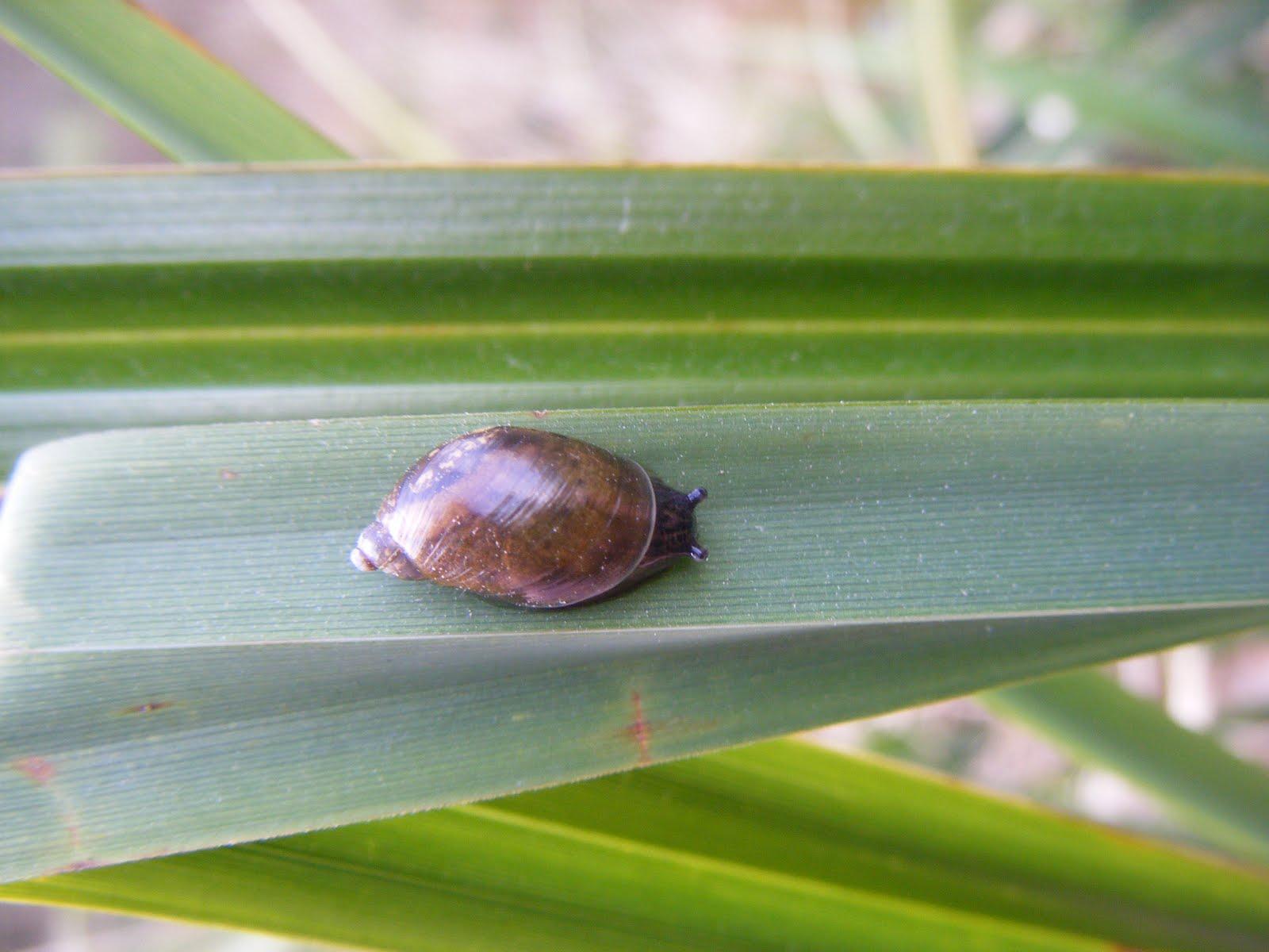 Snail Liver