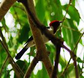 Cradenal Bandera Alemana-Red-capped Cardinal-Paroaria gularis
