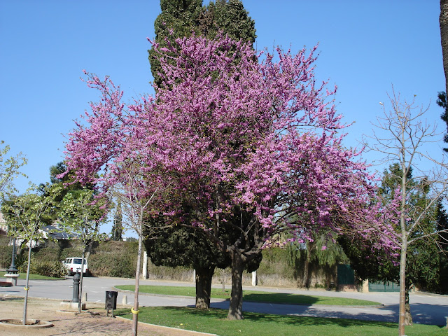 Rboles con alma rbol del amor cercis siliquastrum for Plantas jardin mediterraneo