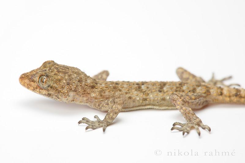 Балкански гекон