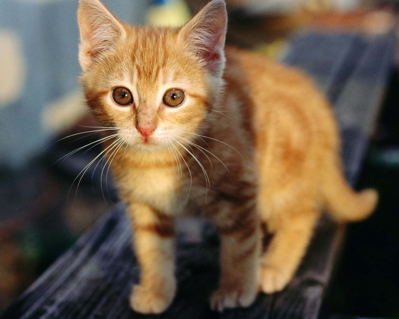 cute orange kitten