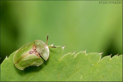 Vairogvabole (Cassida sp.)