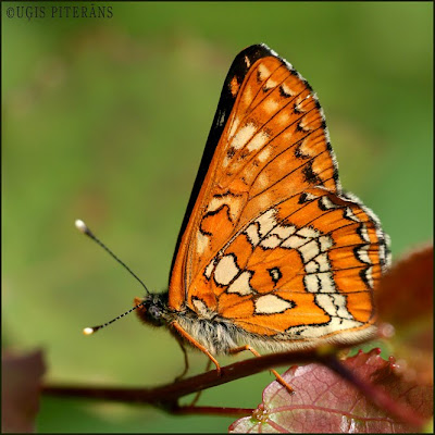 Ošu pļavraibenis (Euphydryas maturna)