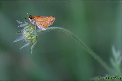 Brūndzeltenais pļavas resngalvītis (Thymelicus sylvestris)