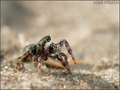 Lēcējzirneklis (Dendryphantes rudis)