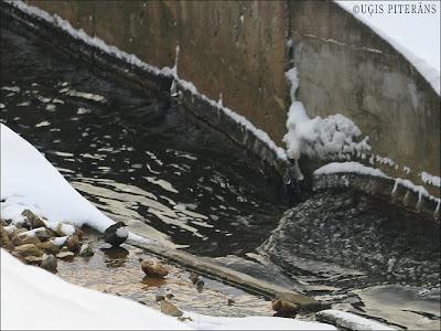 Ūdensstrazds (Cinclus cinclus) Bērzes upē