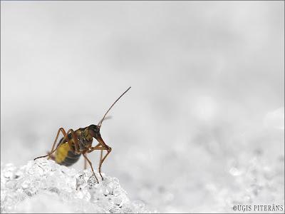 Sniega muša (Boreus sp.)