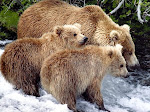 BROWN BEARS, NOTING . . .