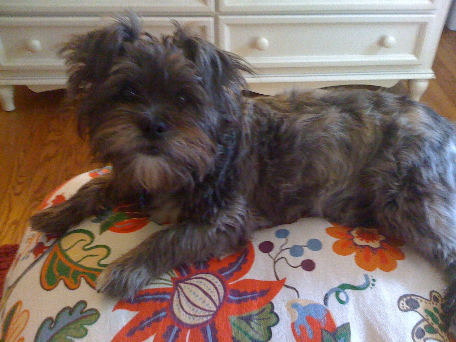 Cairn Terrier Shih Tzu Mix