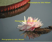 Pink+ +Victoria Kenilworth Aquatic Gardens   The VICTORIA Waterlily