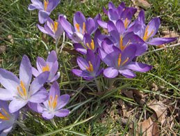 Purple ones Flowers of Spring