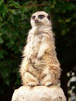 A meerkat standing on a rock.
