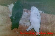 Burung Walet Putih
