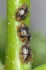 Three adult scale insects on the stem of a young jacaranda plant