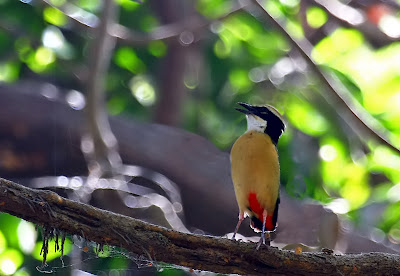 nature animals of  indian pitta youtube