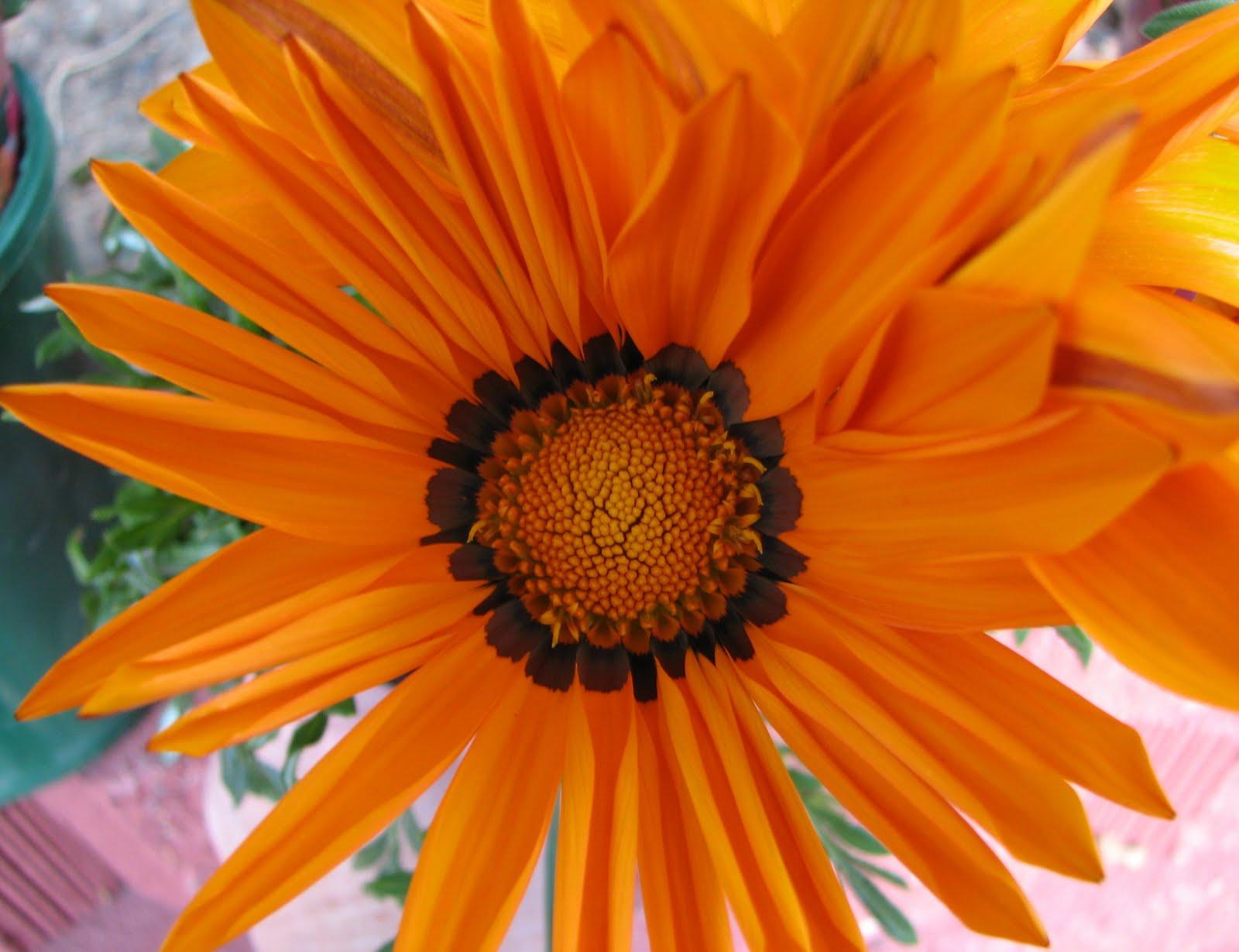 My Dry Tropics Garden Gazanias Like Rays Of Sunshine