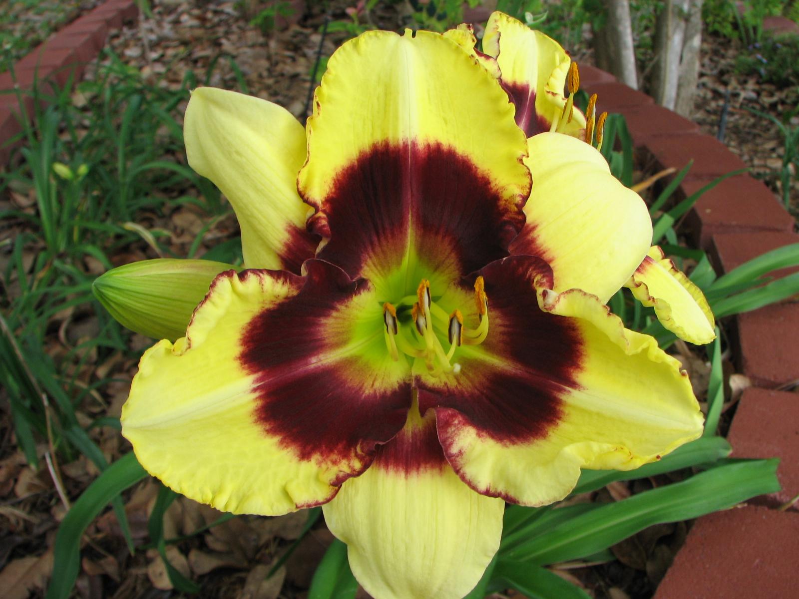 Цветы лилейники фото и названия