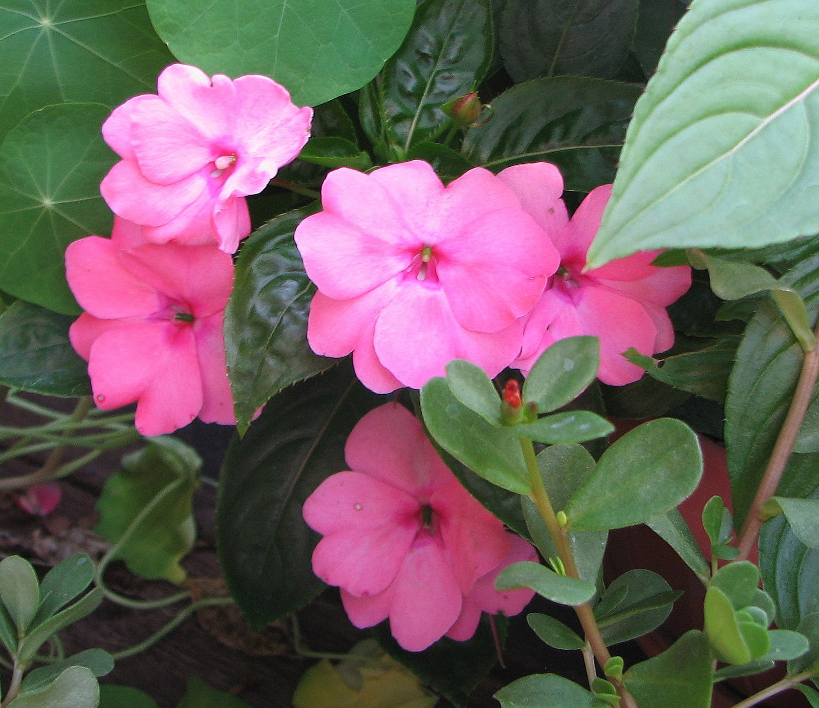 My dry tropics garden impatiens hawkeri new guinea for New guinea impatiens