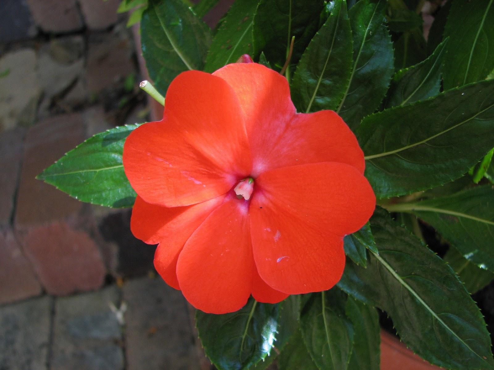 Impatiens Flowers Beautiful Flowers