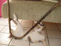 Gata Lili arranhando o sofá da sala