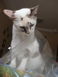 Gata Lili tentando se esconder debaixo do plástico que protege a mesa
