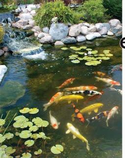 Ren e finberg 39 tells all 39 in her blog of her adventures for Koi breeding pond
