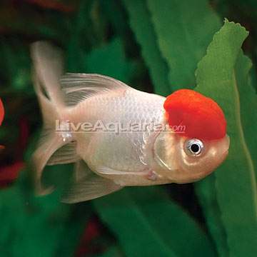 Red Cap Oranda Goldfish - Freshwater Fishs Red Cap Oranda Goldfish