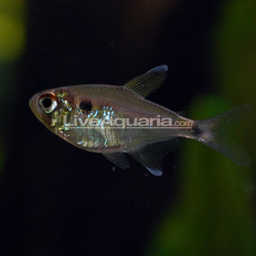 Head and Tail Light Tetra - Freshwater Fishs