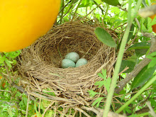 Ous de Merla, Blackbird eggs