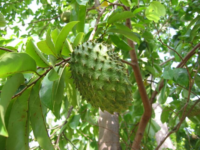 51 PM | Labels: Soursop tamer Cancer More Powerful Than Chemotherapy