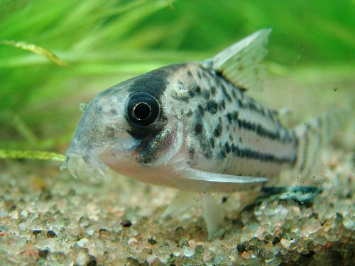 Schwartzs catfish