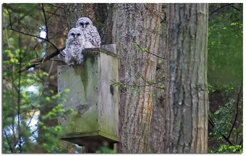 Cute Pics Of Owls. cute young Barred Owls
