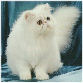 Gambar Kucing Persia dan Anggora Lucu Imut