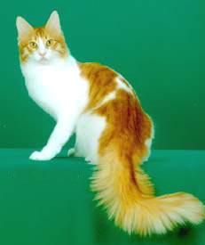 Kucing Anggora Lucu