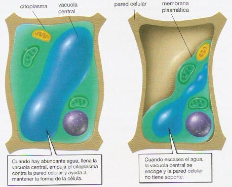 celula vegetal y sus partes. y entre sus funciones