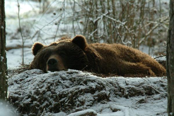 ecchrondonra: animals that hibernate in winter for