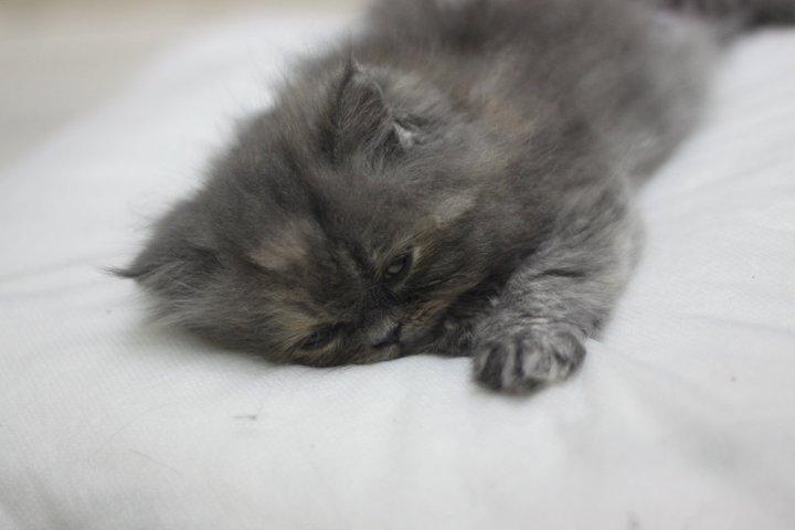 wallpaper kucing comel. Anak+kucing+parsi+comel