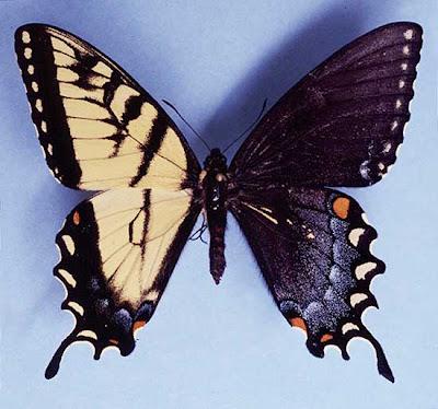 http://3.bp.blogspot.com/_SqhhJb_P3Kk/SpLuSXJVCDI/AAAAAAAAIxo/YS9eYGh8lkE/s400/gynandromorph+tiger.jpg