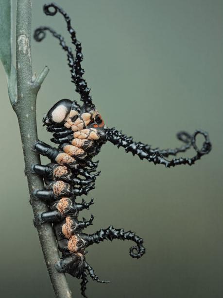 http://3.bp.blogspot.com/_SqhhJb_P3Kk/TQ5jfqKGFHI/AAAAAAAANI8/XXFWYQlcdUg/s1600/Brahmin++moth+caterpillar.jpg