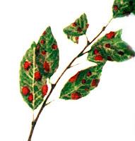 Boli plante