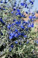 Salvia chamedryoides