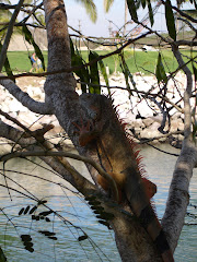 Resident Iguana